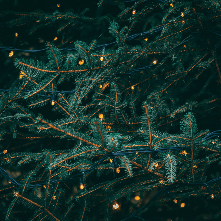 Closeup photo of a spruce tree with holiday lights on the boughs.